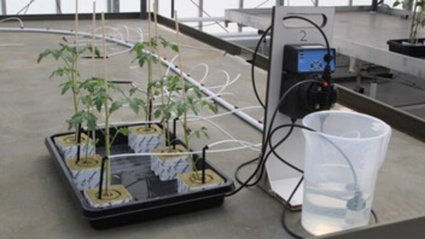Microbiele sturing, grow, water, give, small, plant, labrory, grodan